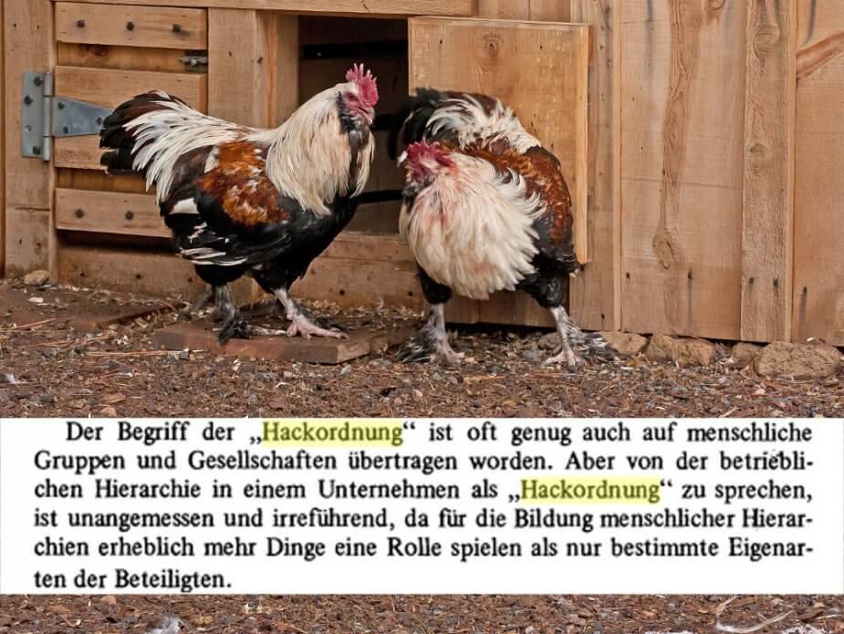 Ein Bild vom Hahnenkampf und die Erklärung, dass die Hackordnung von Hühnern nicht auf menschliche Beziehungen im Betrieb übertragbar ist.